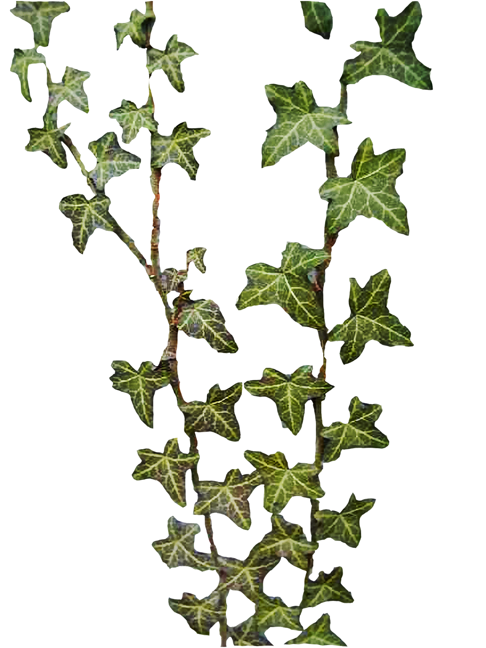 Best Free Ivy Png Image image #46876