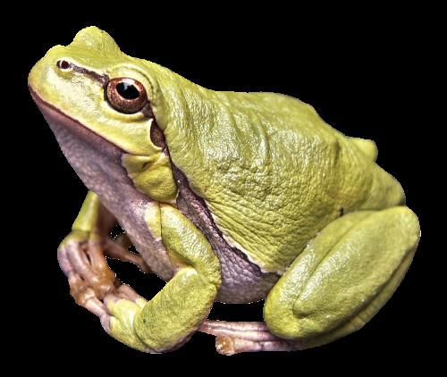 Big Frog PNG Image
