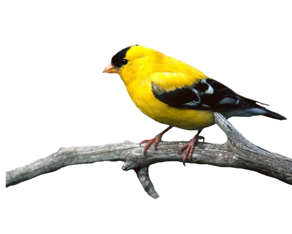 Browse And Download Birds Png Pictures