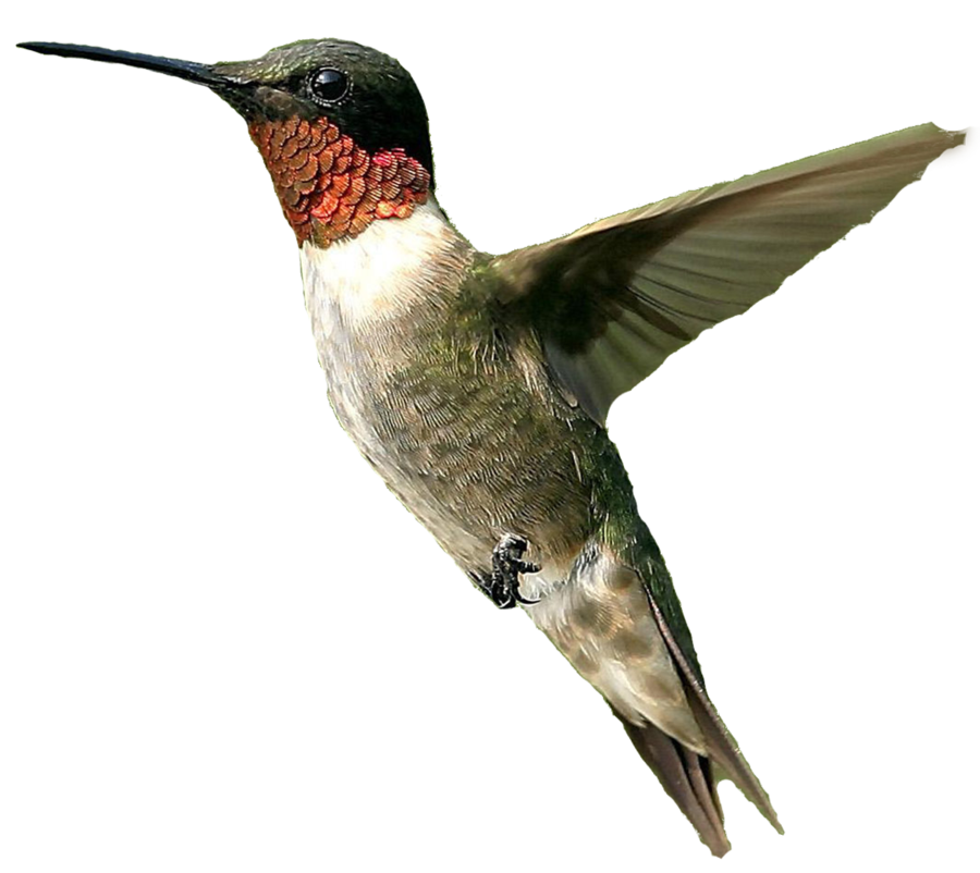 Bird Png Male Humming Bird Png image #3503