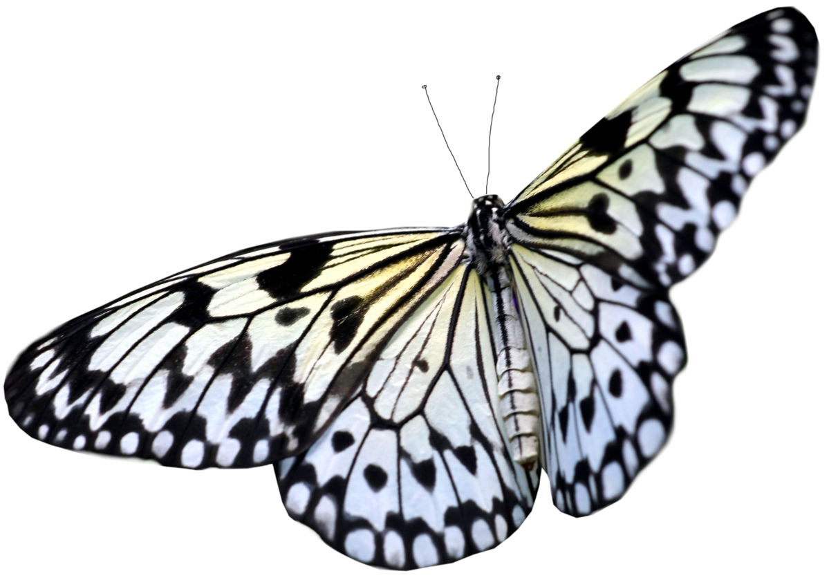 black white butterfly png
