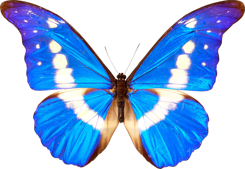 Blue Butterflies Png 26548 Free Icons And Png Backgrounds