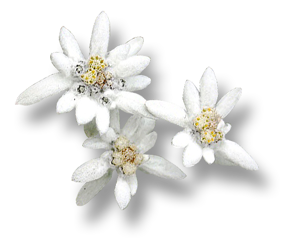 Branched Edelweiss White Image image #48561