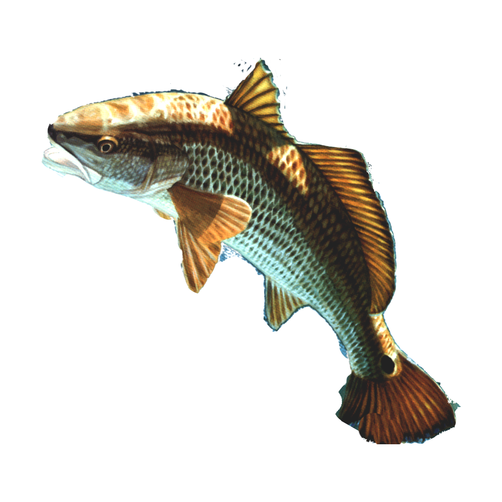 brown fish PNG