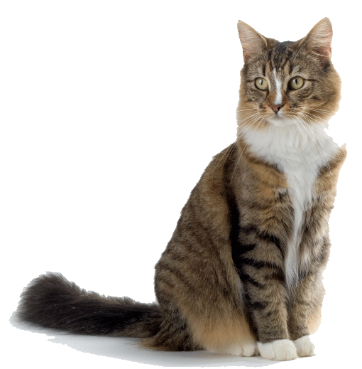 brown white cat png