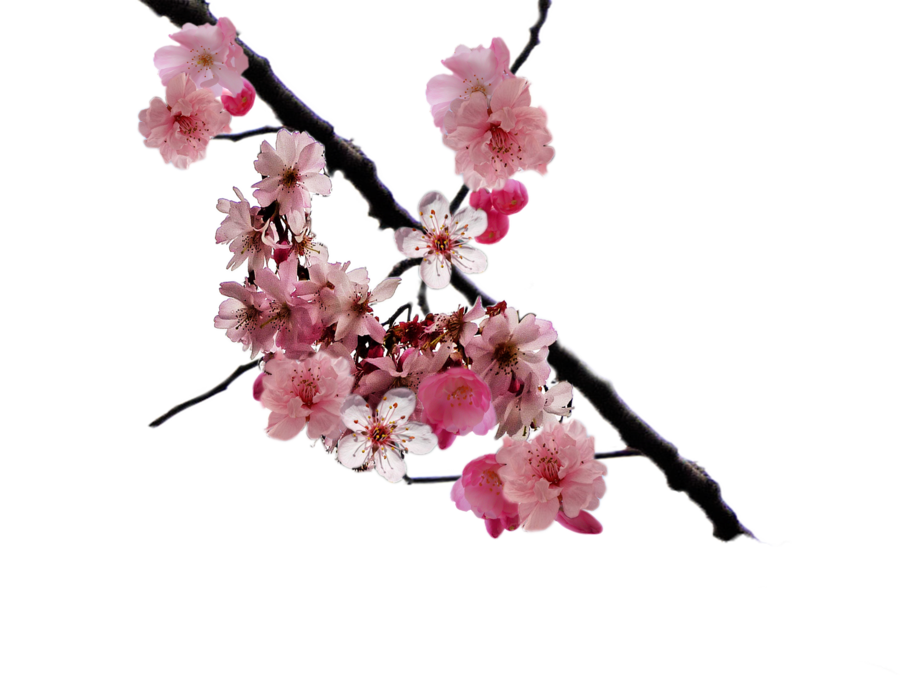 Browse And Download Cherry Blossom Png Pictures image #45484