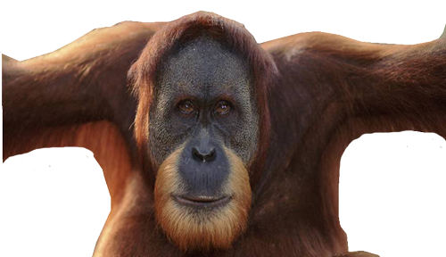 But The Old Strong Orangutan Photo image #48077
