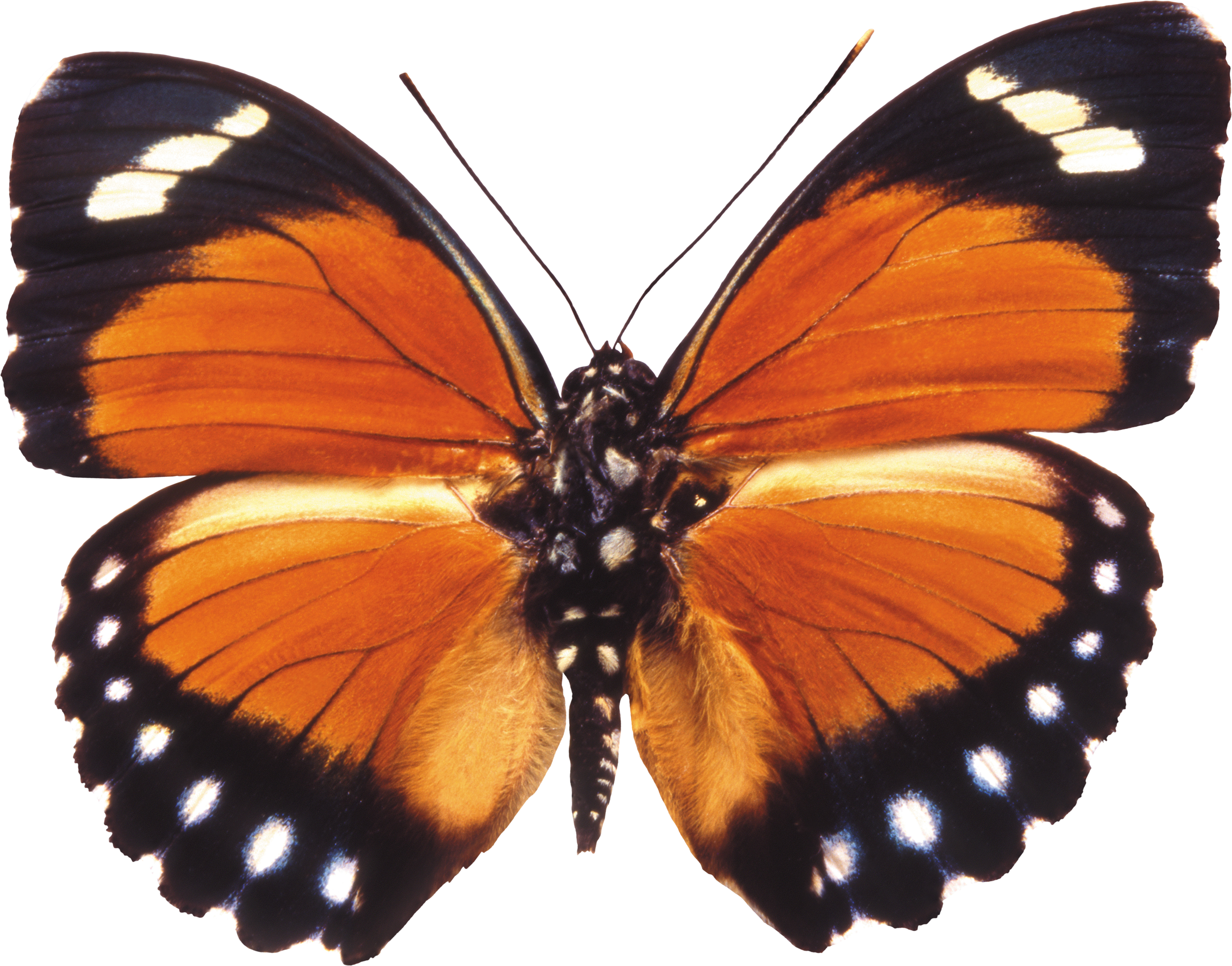 Butterfly Clipart Download Png image #6739