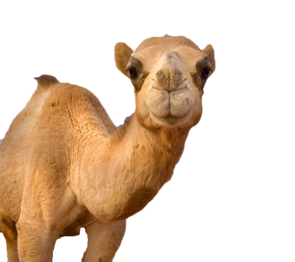 High Resolution Camel Png Icon image #37103
