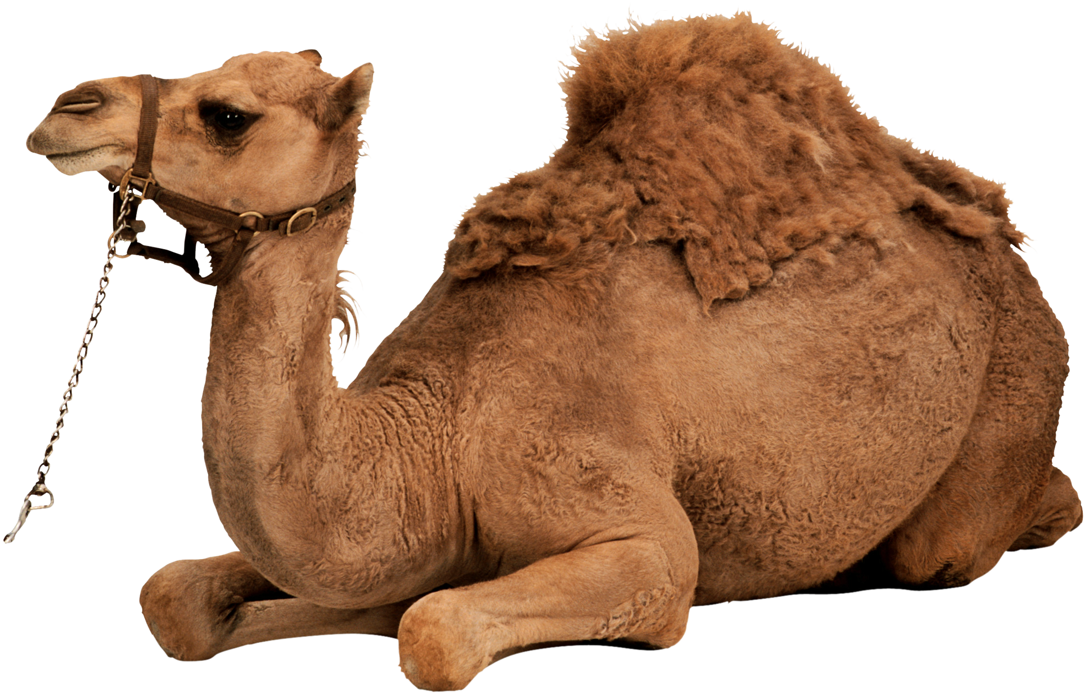 Clipart Png Download Camel image #37110