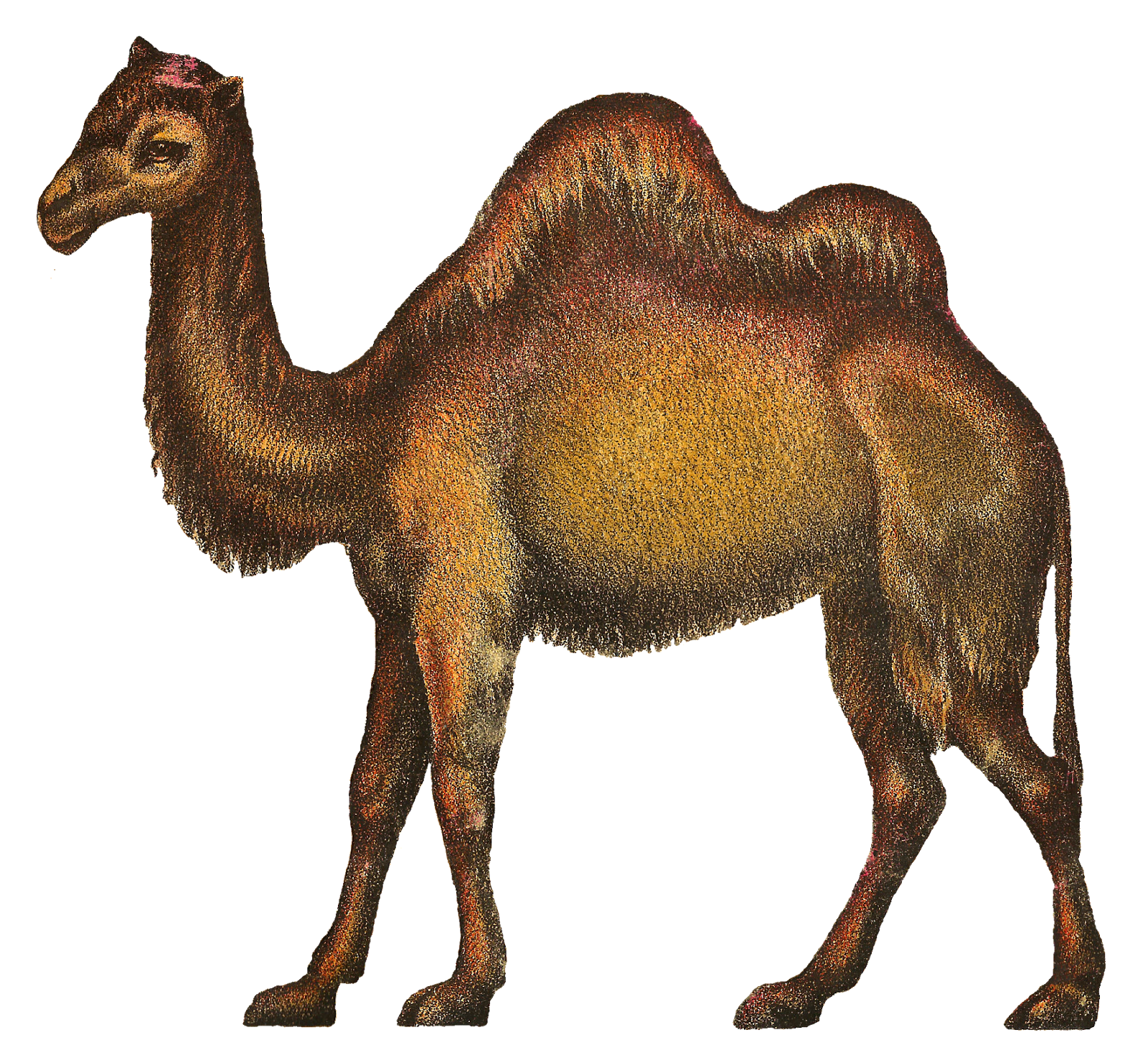 Png Camel Vector image #37112