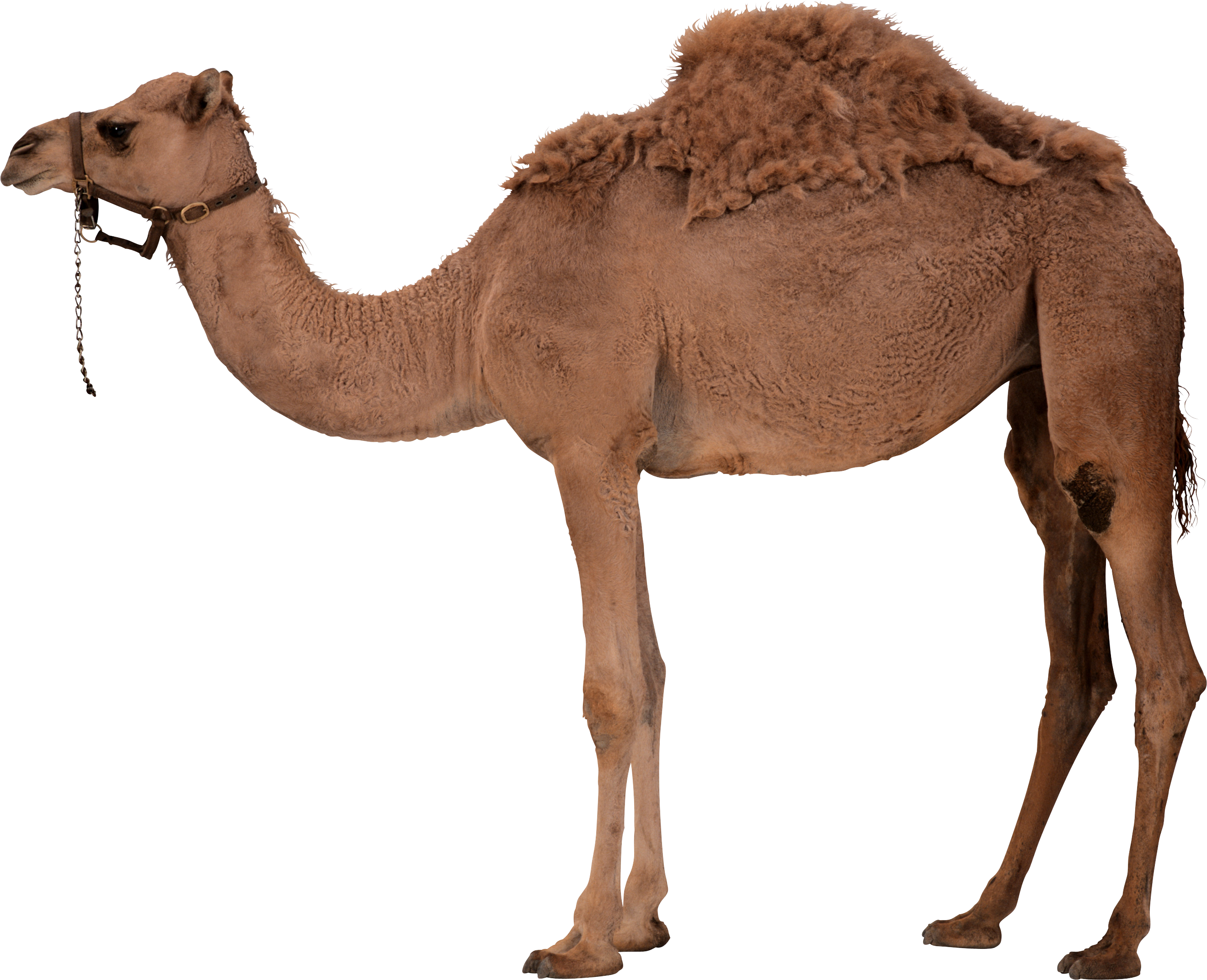 Png Camel Vector image #37097