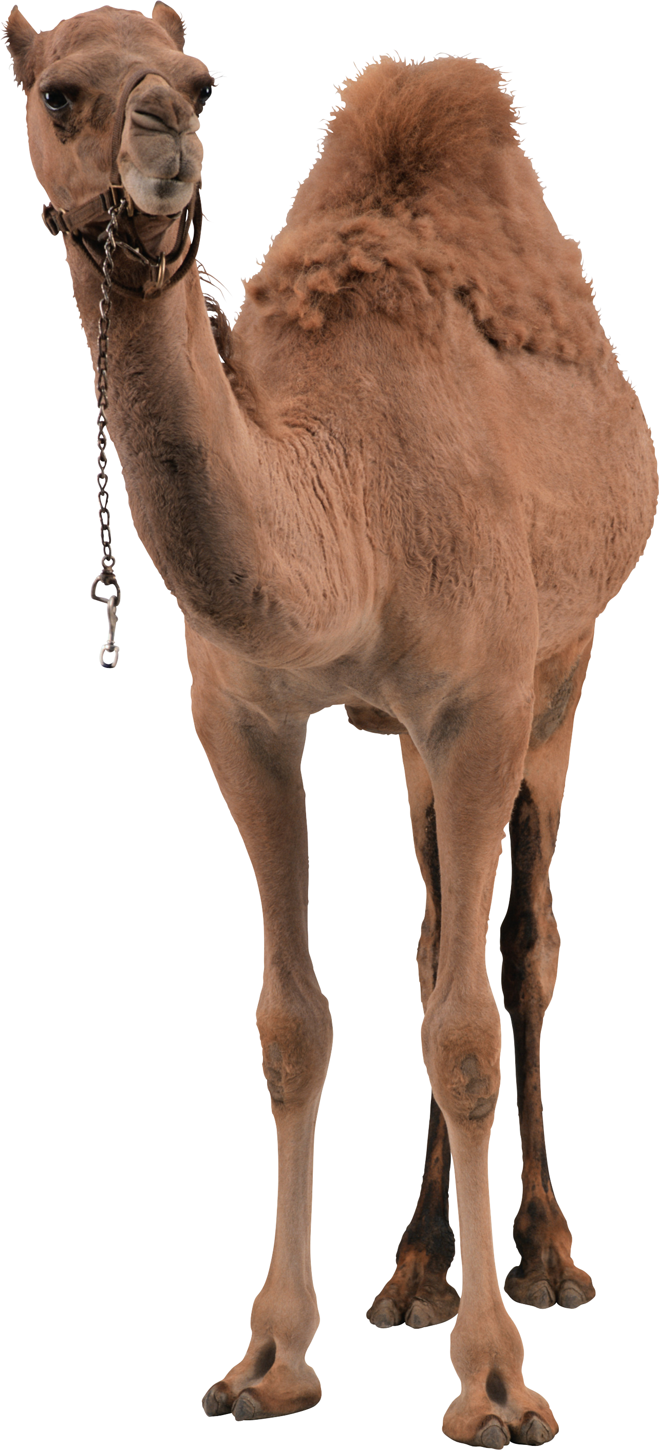 Camel Png Photo Transparent image #37102