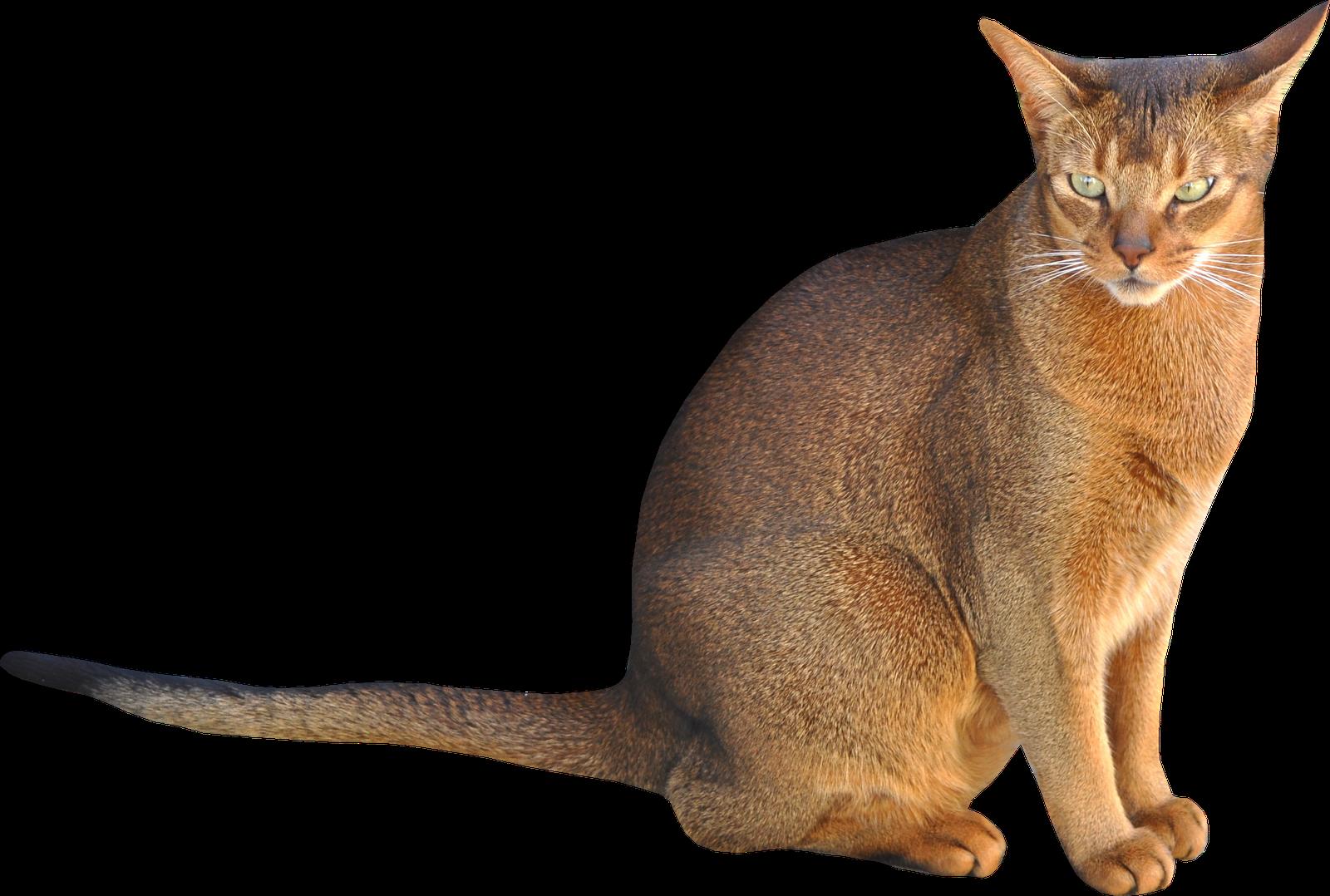 cat sitting brown png