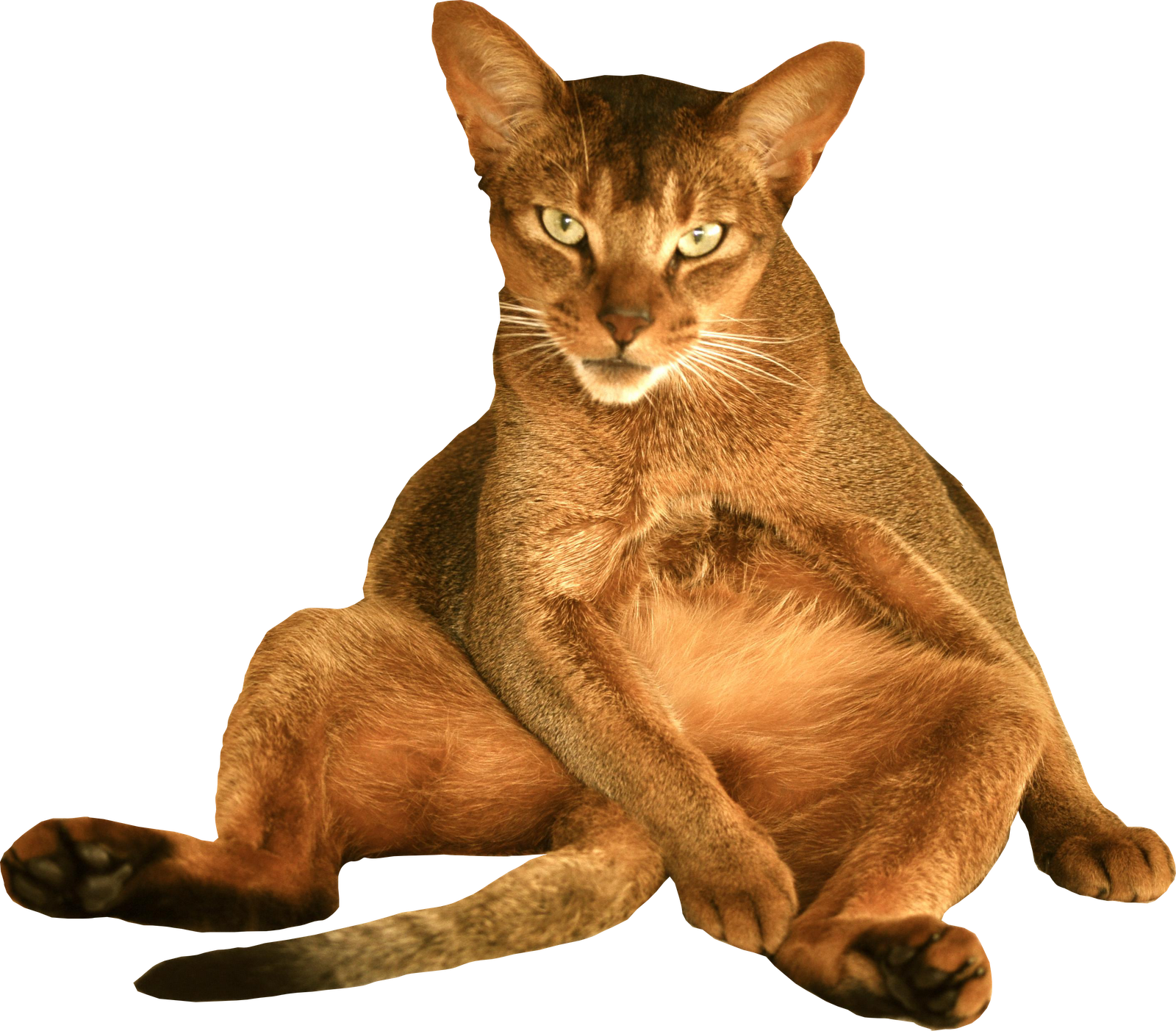 Devil Cat Png image #40361