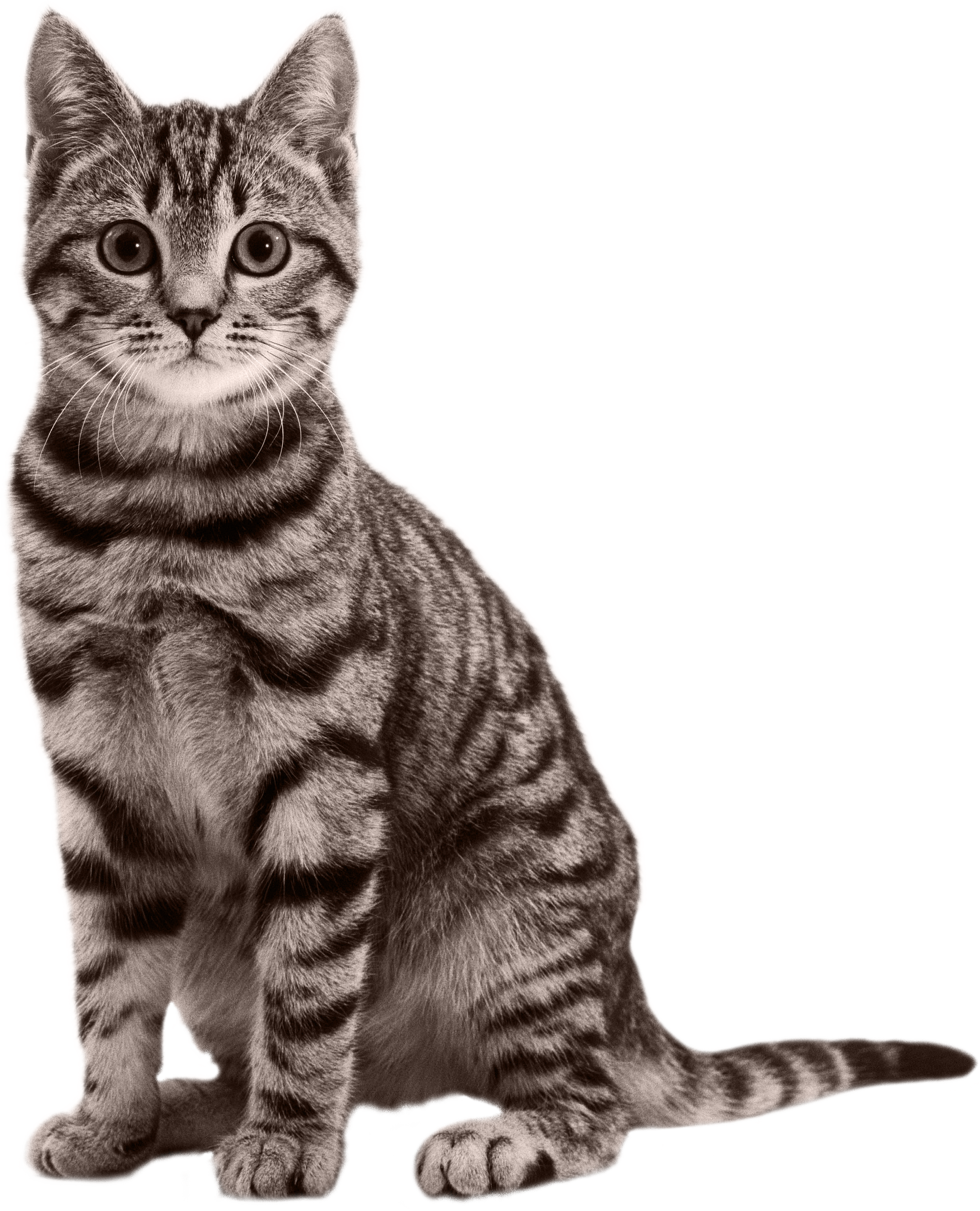 Sitting Small Cat Png image #40363