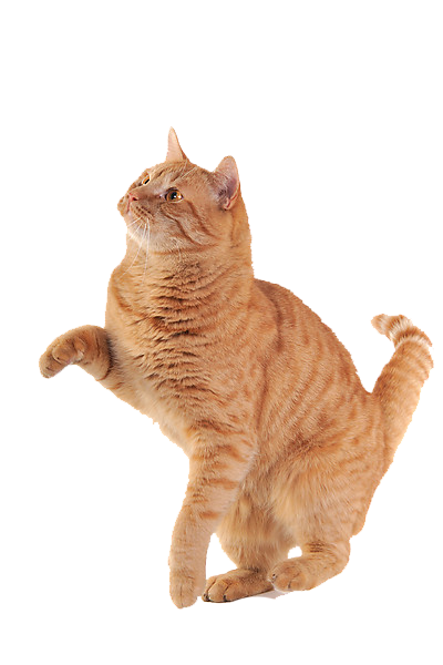 golden paw cat png