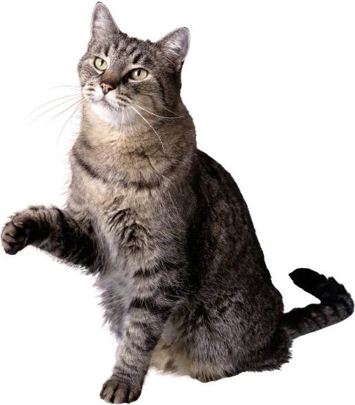 Cat Png image #40349