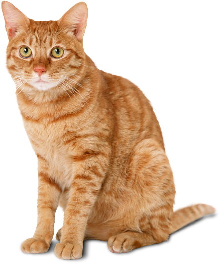 Sitting Yellow Cat Png image #40351