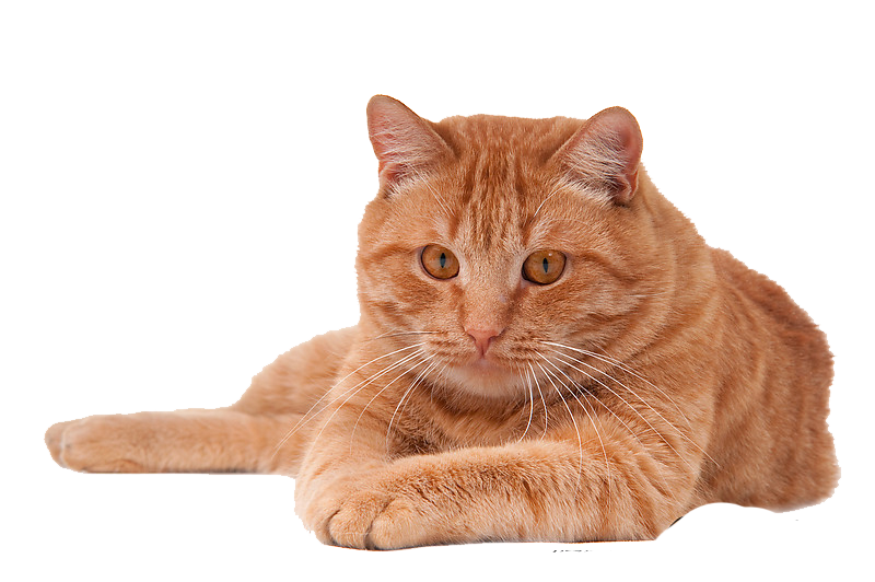 golden cat png  40353