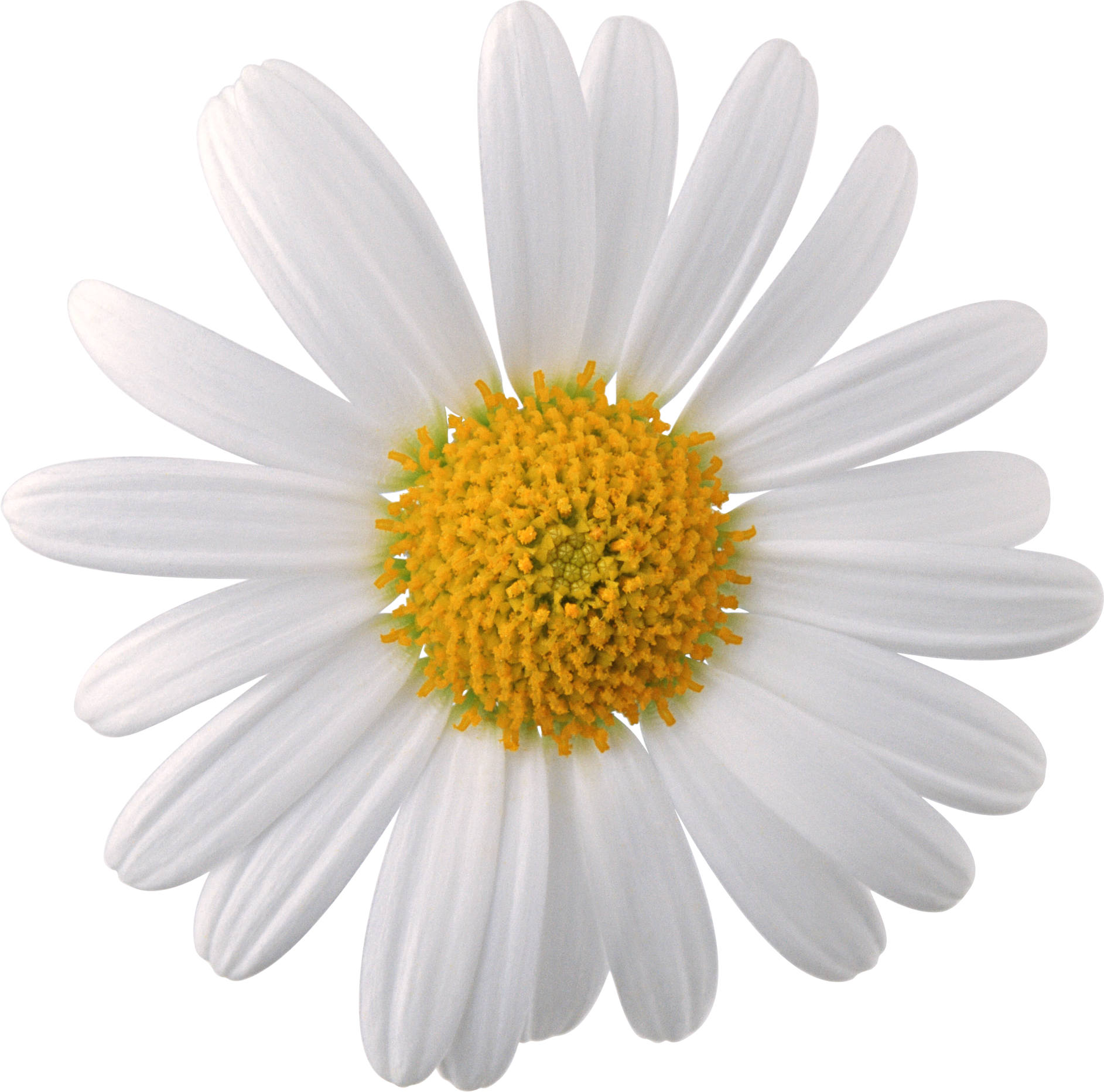 chamomile flowers daisy white and yellow