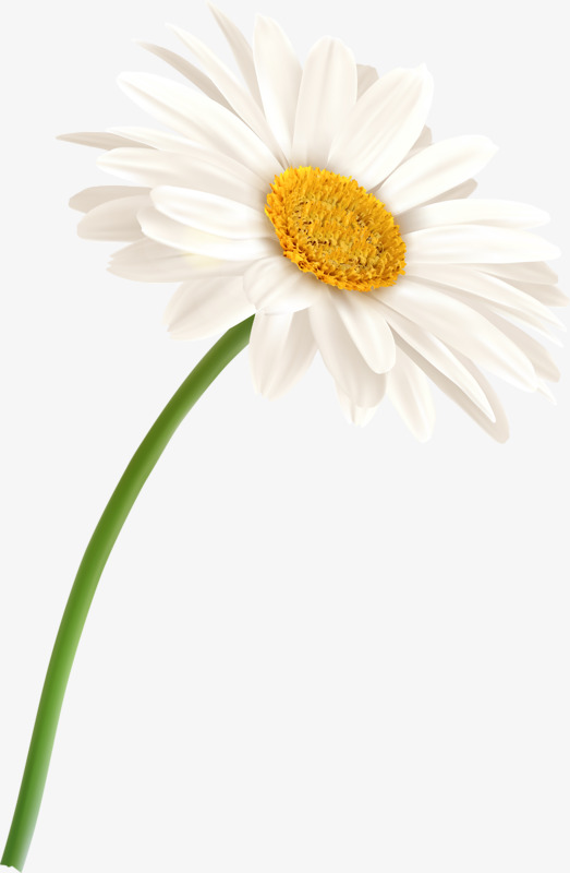 Chamomile Vector Png