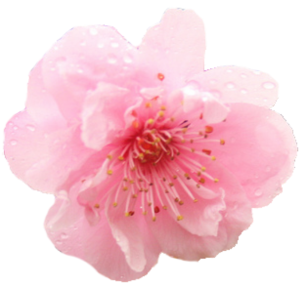 Cherry Blossom PNG HD 31 image #45514