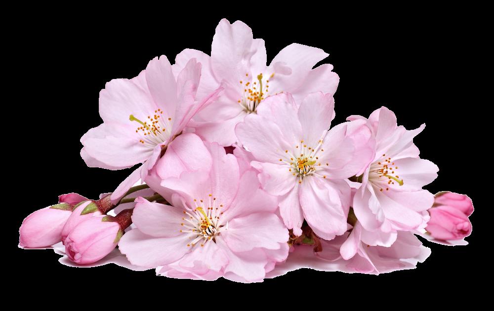Cherry Blossom Transparent PNG