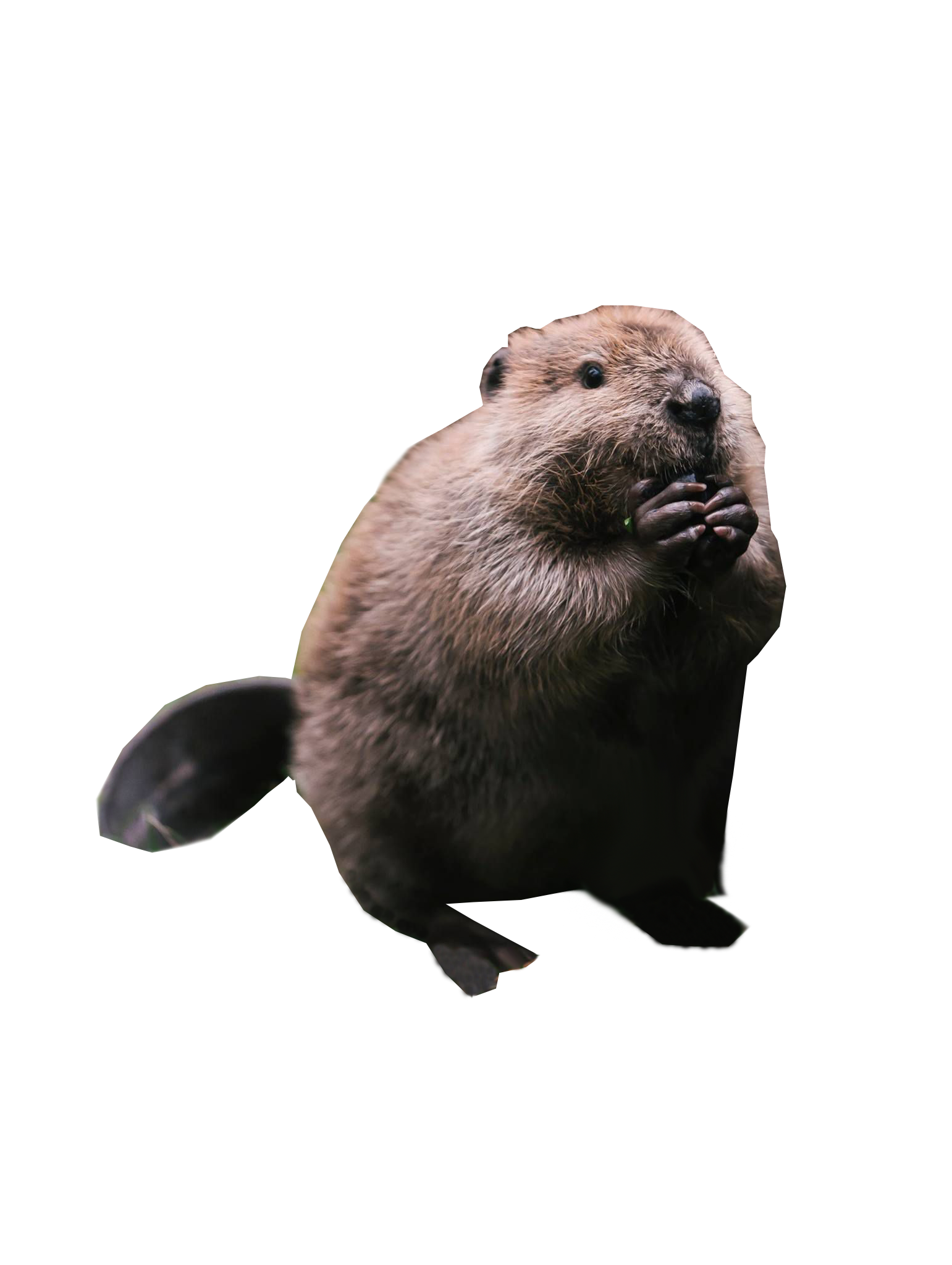 Chubby Beaver Images