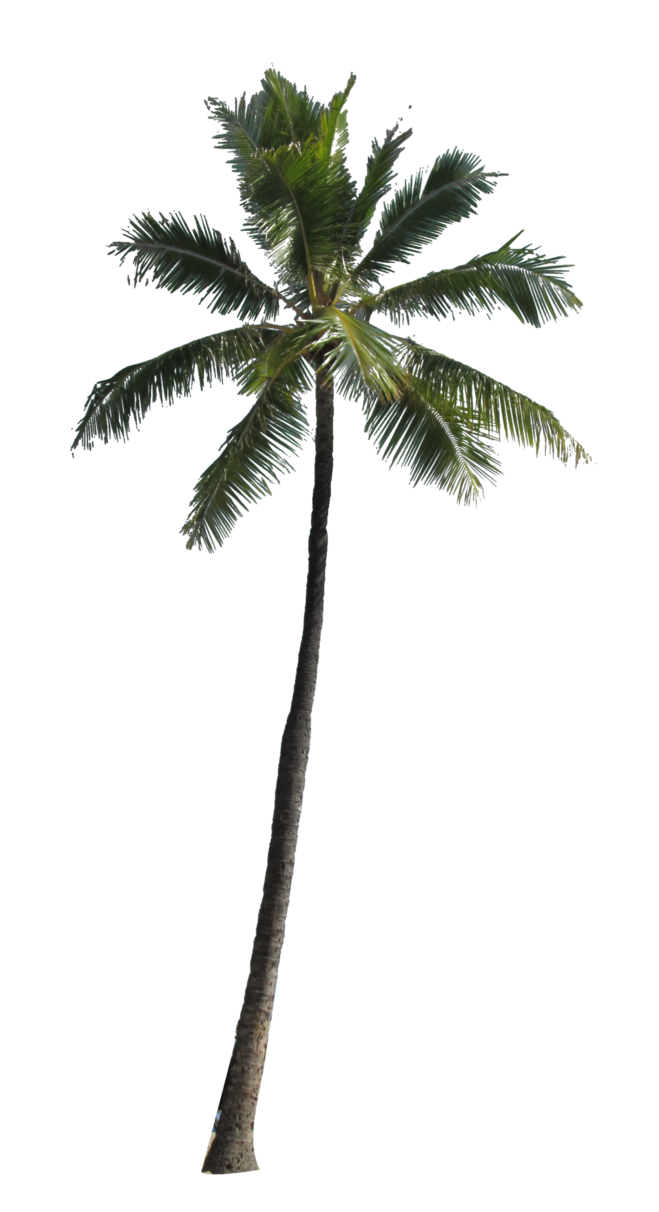 Coconut Palm Tree PNG Image image #46401