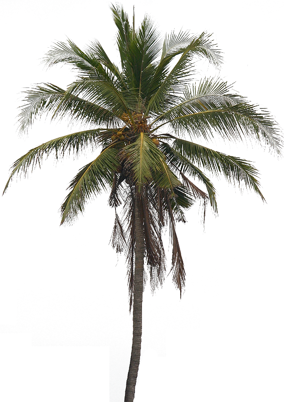 Coconut Tree PNG HD image #46410