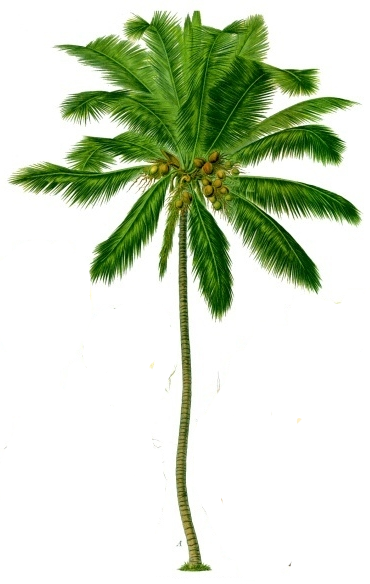 Coconut Tree Png Transparent Background