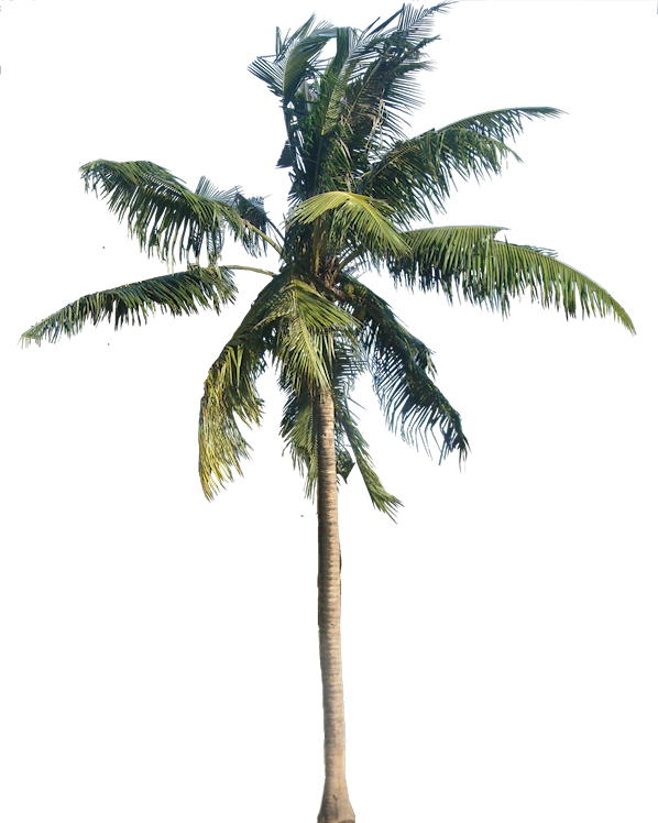 Coconut Tree Vector download coconut tree PNG images