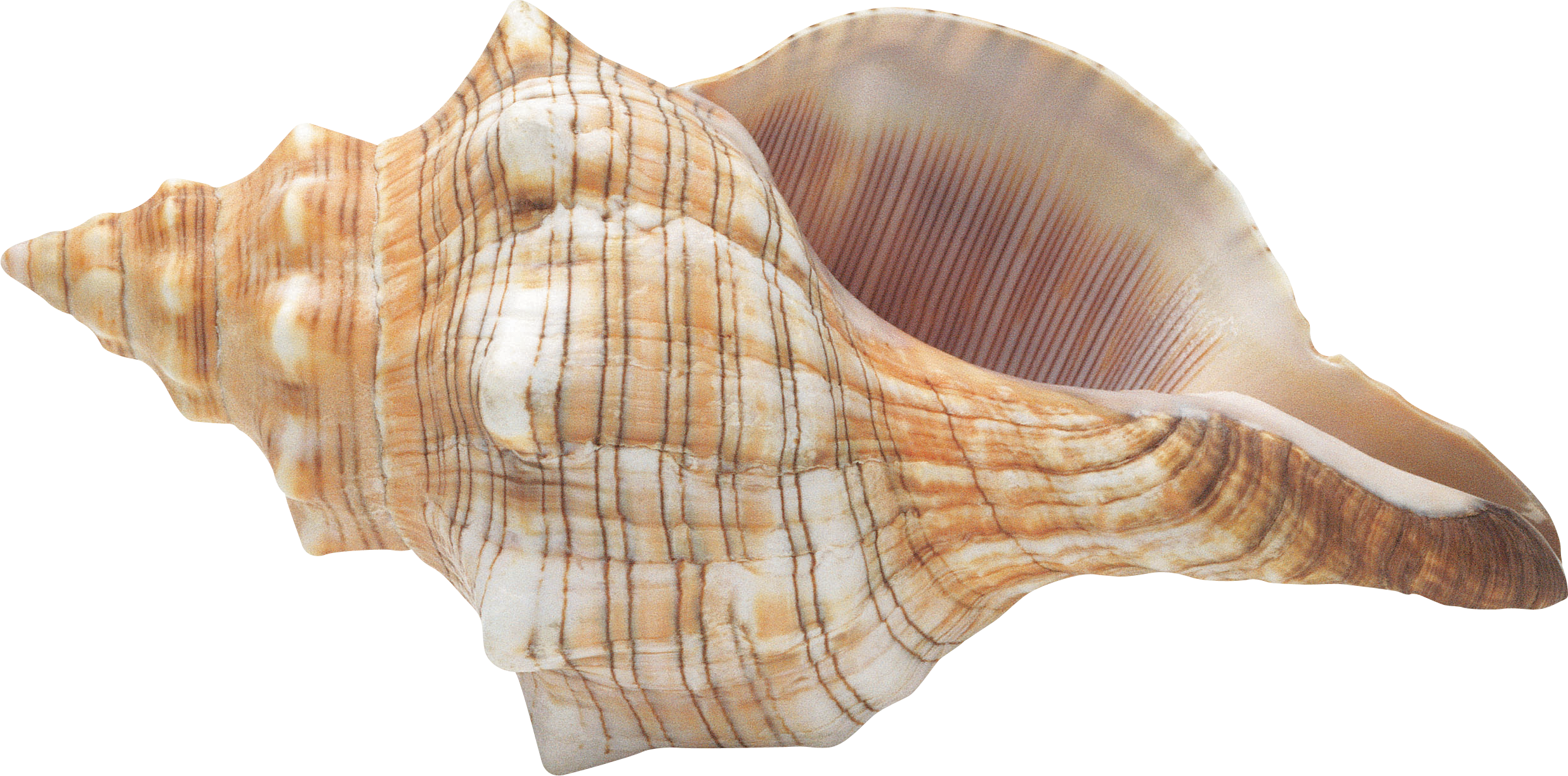 Colorful Patterned Pointed Conch Images image #48543