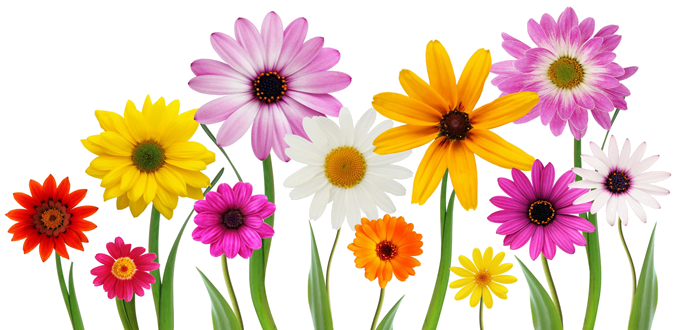 Colorful, Summer, Spring Flowers Png image #43173