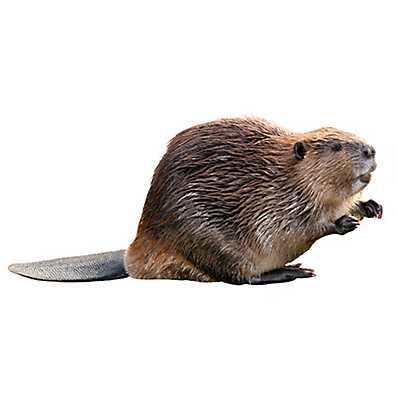 Crafty Chubby Of Beaver Images