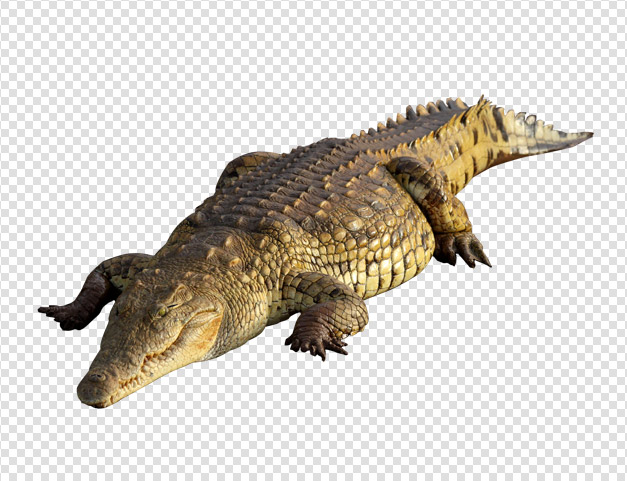 Crocodile Png Available In Different Size image #37526