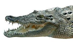 Download Free High-quality Crocodile Png Transparent Images image #37528