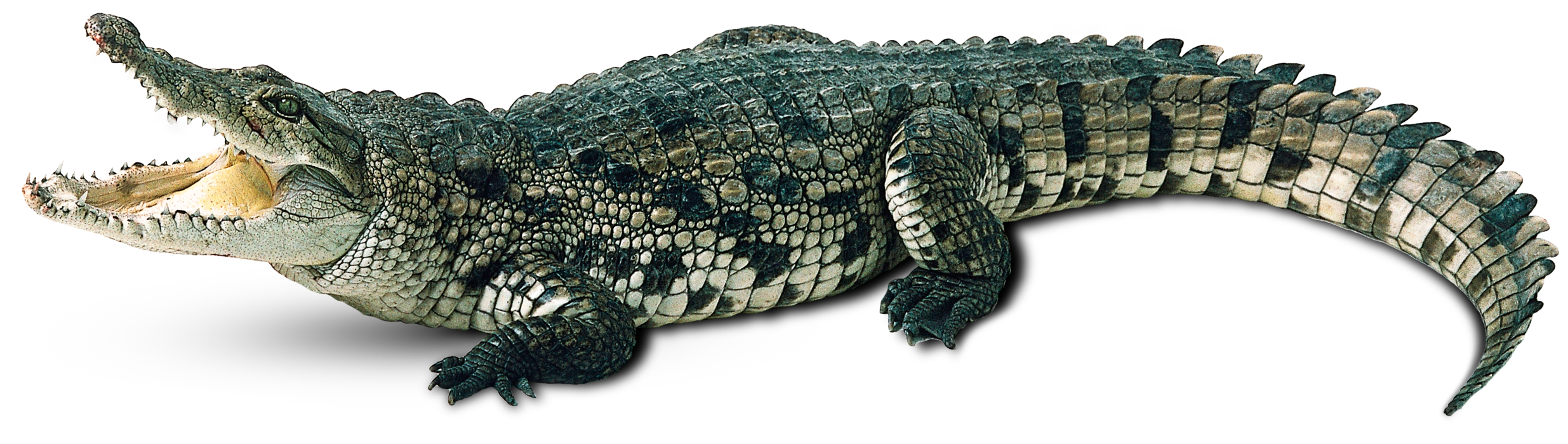 Crocodile PNG Picture image #37511