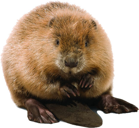 Cute Beaver Designs Picture image #47725