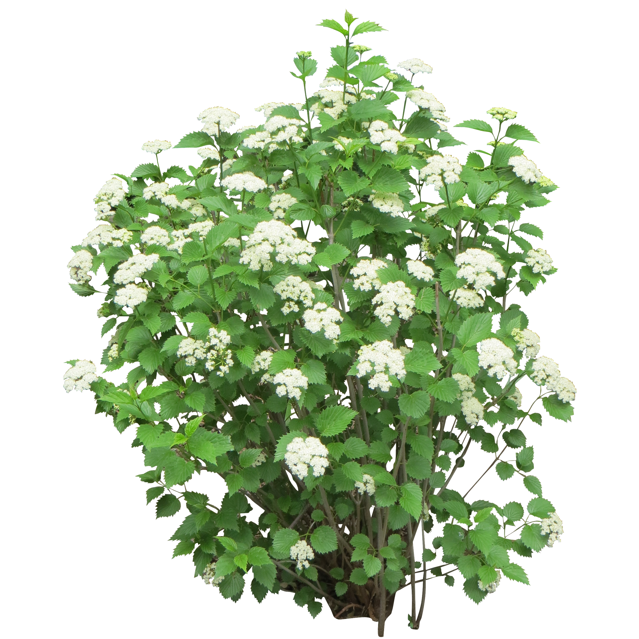 Cutout Of Bush With White Flowers 2811 Free Icons And Png Backgrounds