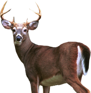 HD Deer PNG