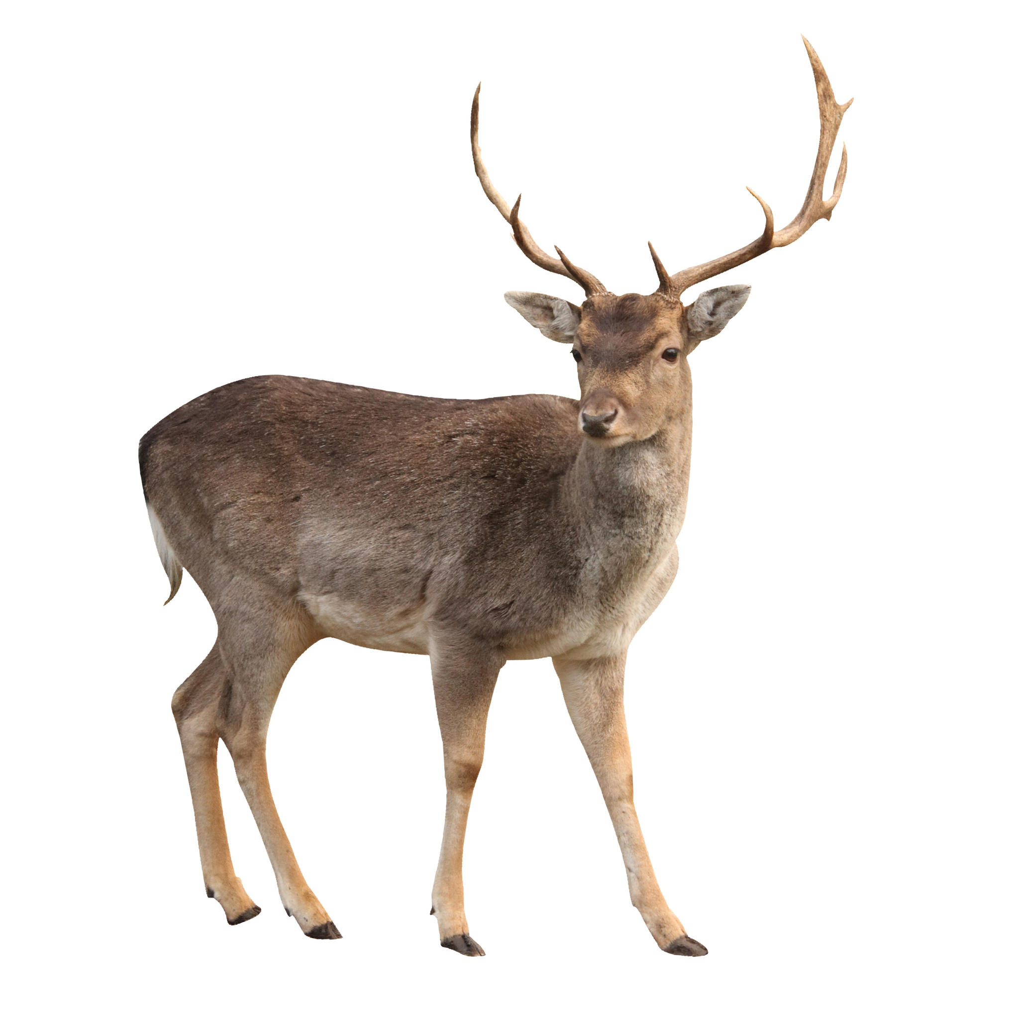 Download And Use Deer Png Clipart image #32762