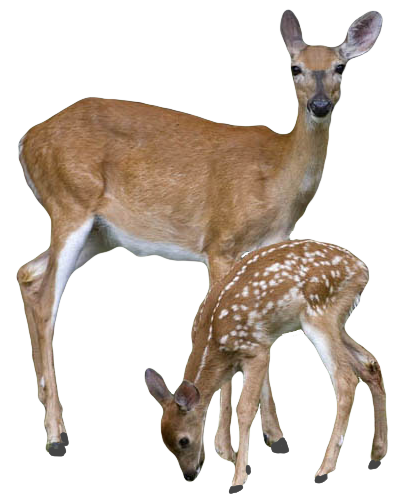 High Resolution Deer Png Clipart image #32754