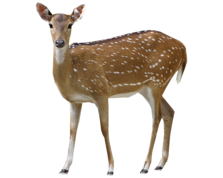 Deer Background Transparent image #32759