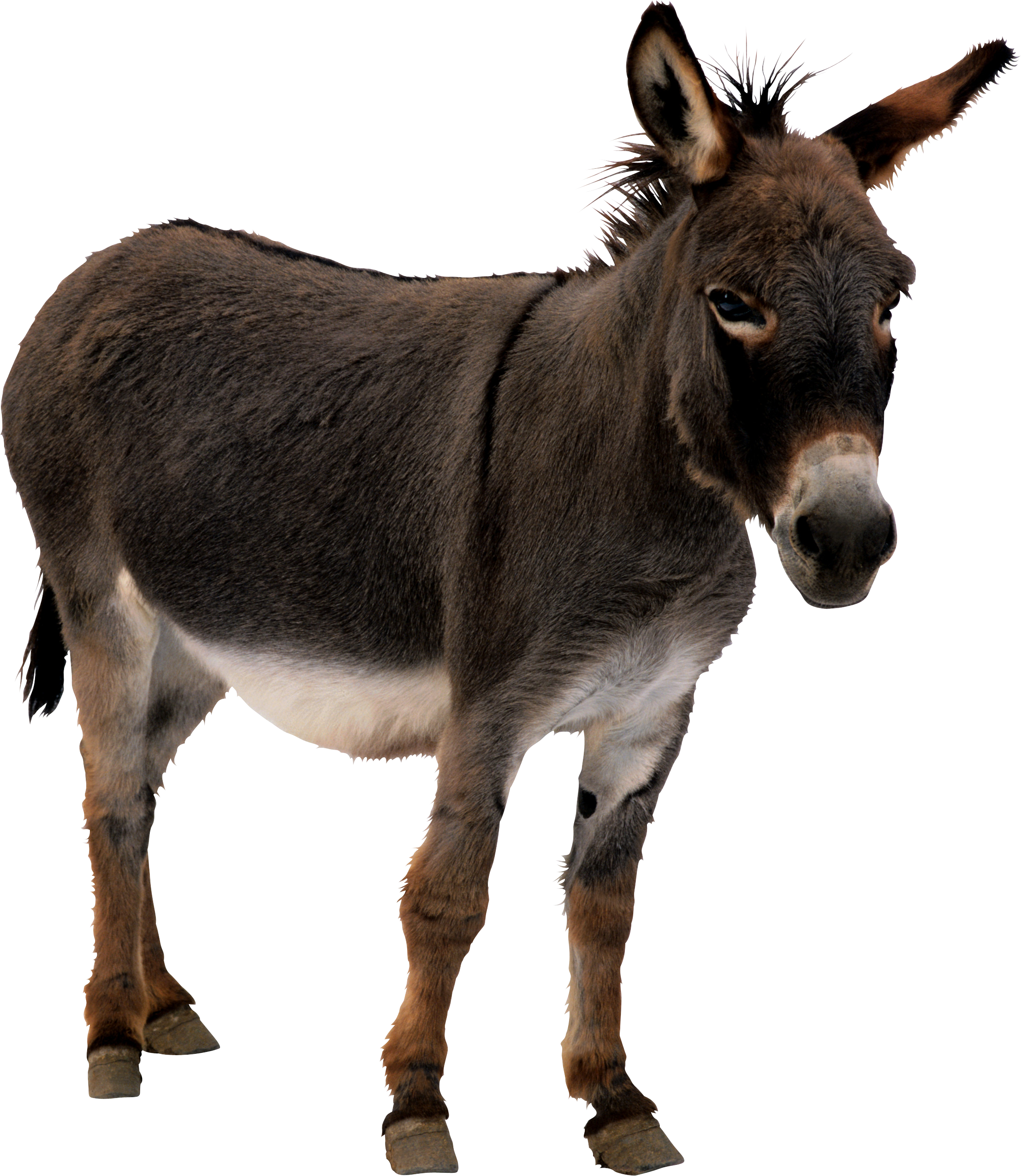 Donkey, black PNG Pic