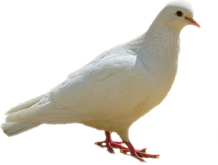 dove, birds, white png