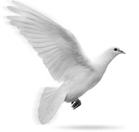 Dove In Flight Png image #41753