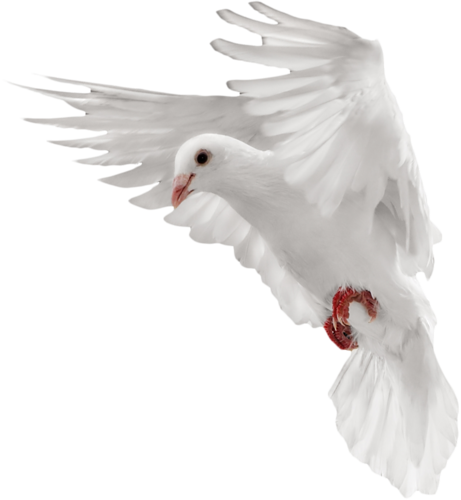 Dove, Pigeon PNG Transparent Image image #41762