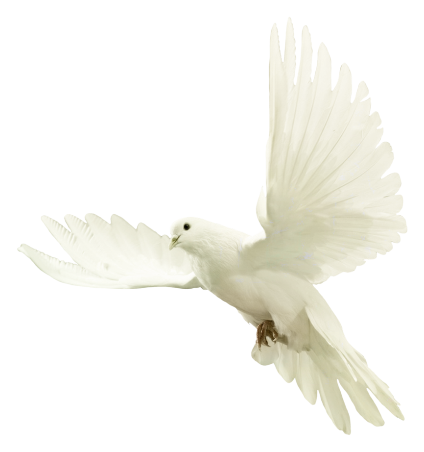 Dove Png image #41746